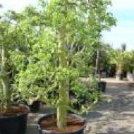 6_peerenbomen2