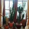 cactus175cm-1