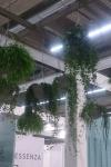 div hangende vetplanten