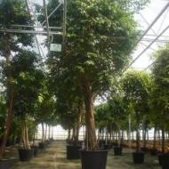 Grote bomen div. soorten en maten
