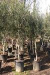 olijf-225-dikkere-stam-planta