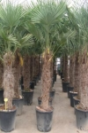 trachycarpuspalm225